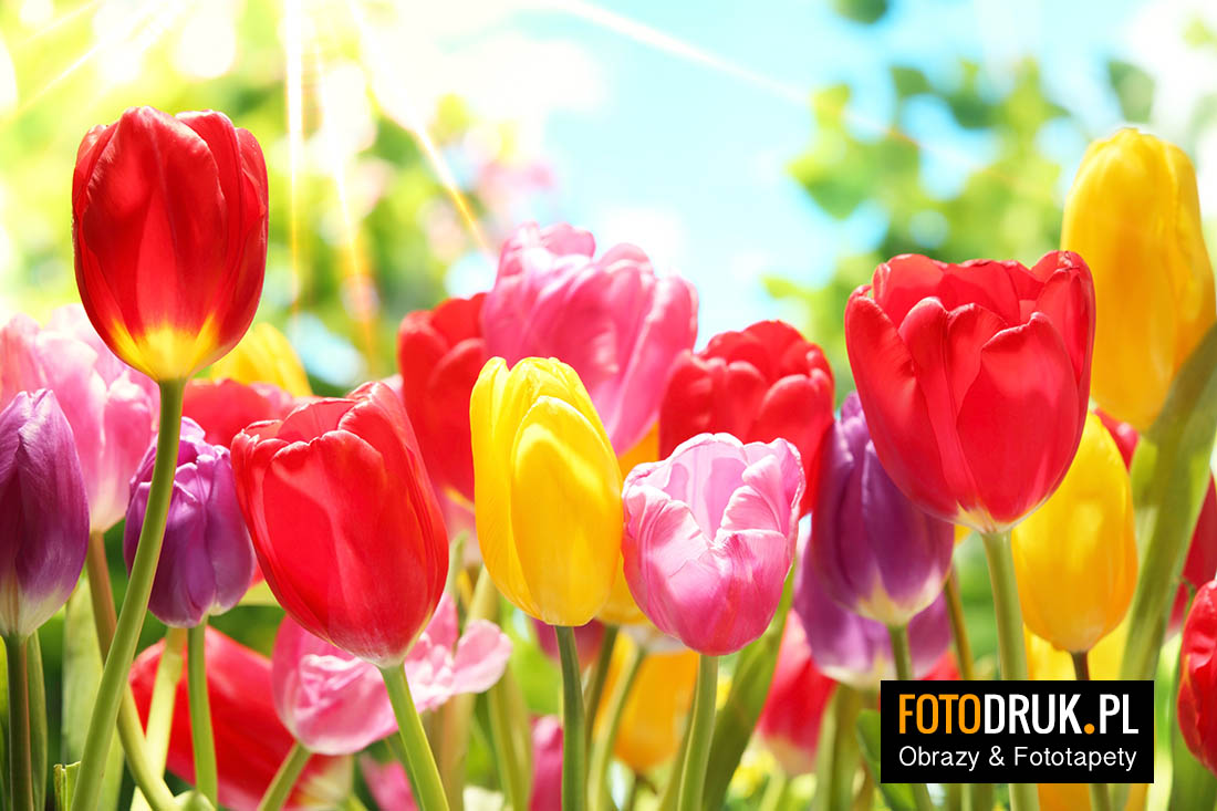 kwiaty tulipany obrazy