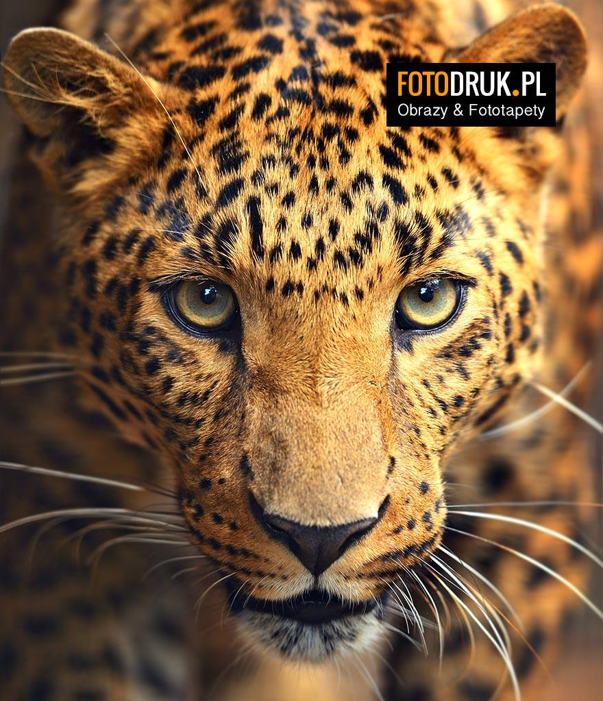 Leopard Lampart Pantera