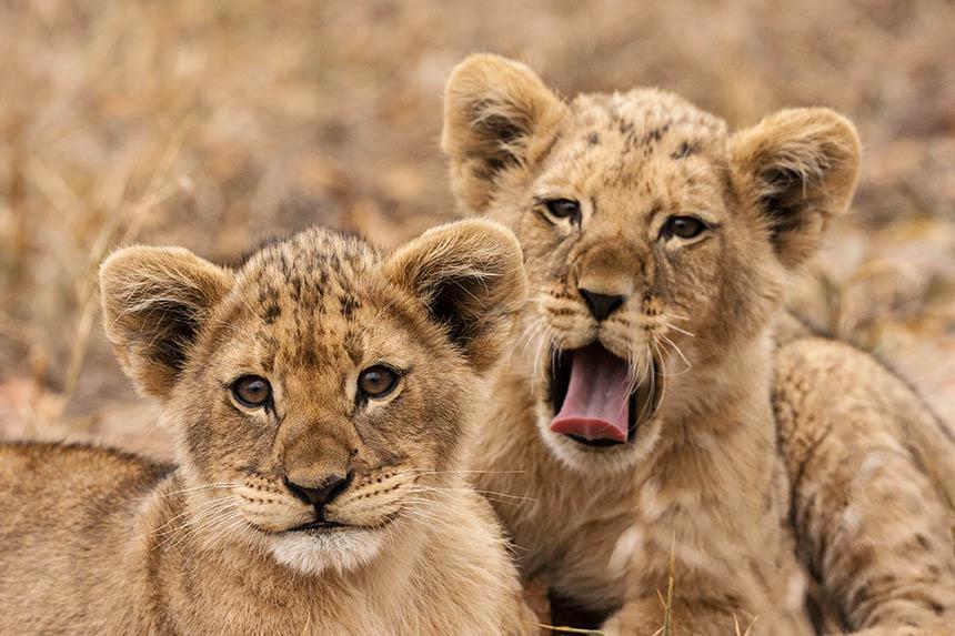 Obrazy i fototapety z Afryką- młode lwiątka