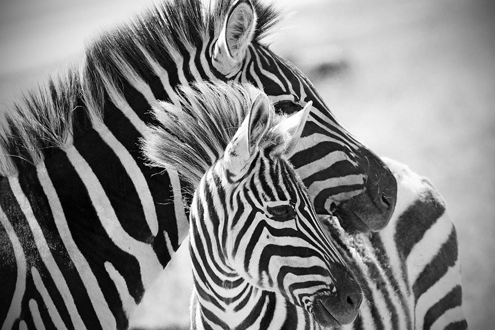 Afryka na obrazach, fototapety z Afryką - czarno białe zebry