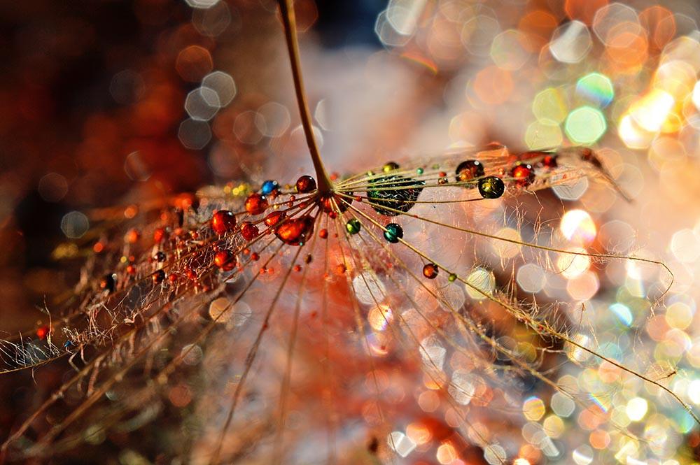 Nowoczesne obrazy - Kolorowe kropelki rosy na dmuchawcu